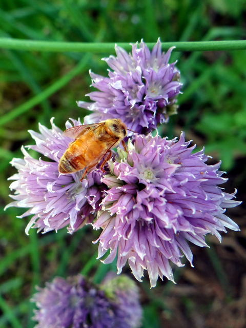 Apis mellifera (European honeybee) on Allium schoenoprasum (chives)