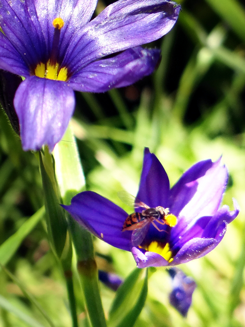 native bee on Sisyrinchium bellum (blue-eyed grass)