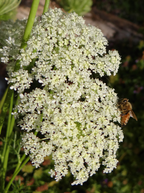 honeybee on Daucus carota (carrot)