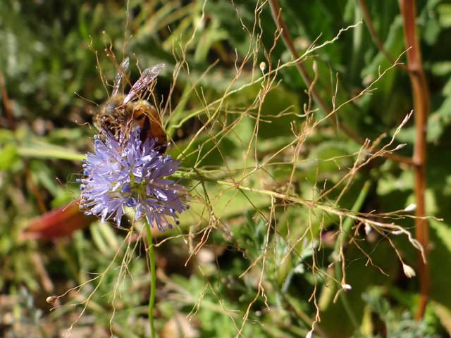 honeybee on Gilia capitata (globe gilyflower)
