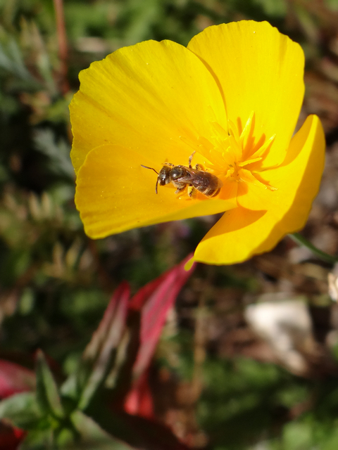 bee on Eschscholzia californica (California poppy)