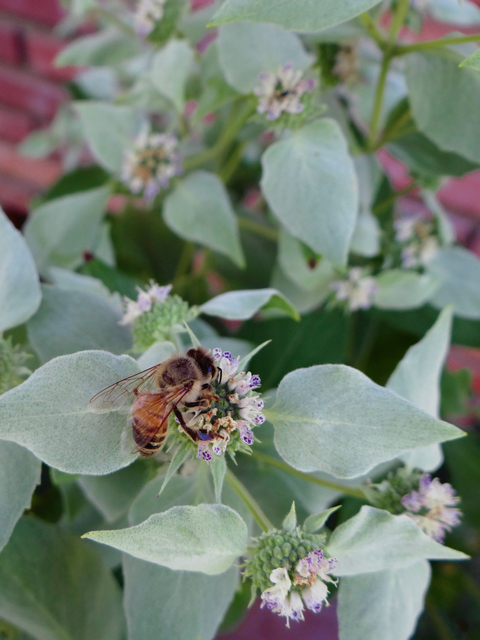 honeybee on Pycnanthemum californicum (Sierra mint)