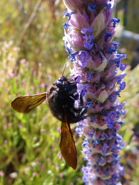 Xylocopa varipuncta (Valley carpenter bee) on Nepeta tuberosa (tuberous catmint)