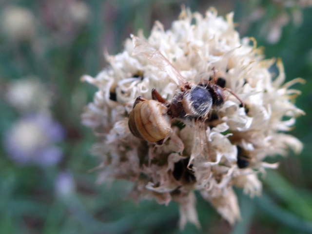 dead honeybee on Allium schoenoprasum (chives)