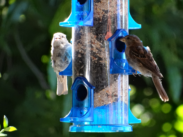 Passer domesticus (female house sparrows)