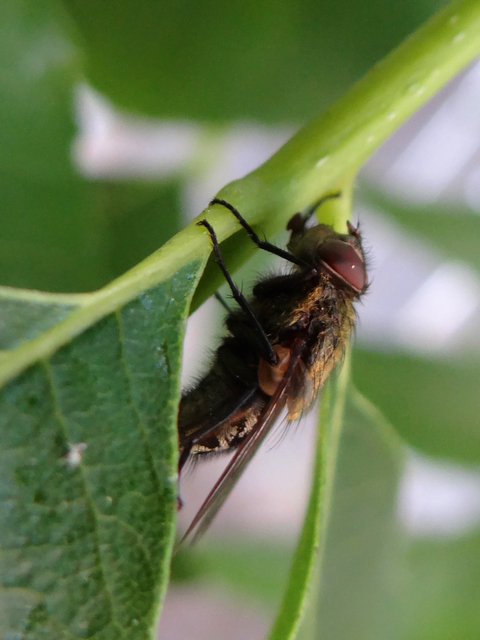 fly on Carya illinoiensis (pecan)