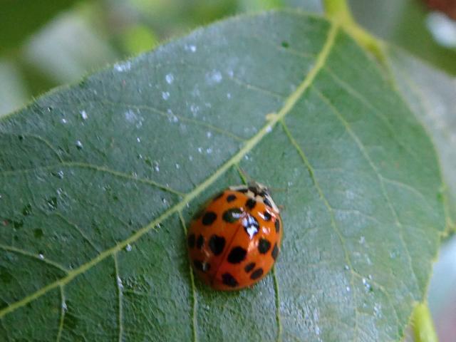 Harmonia axyridis (harlequin ladybug)