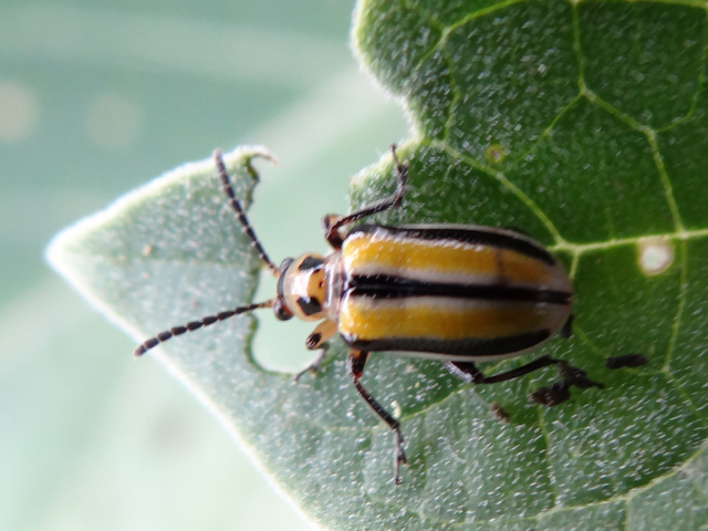 Lema daturaphila (three-lined potato beetle)