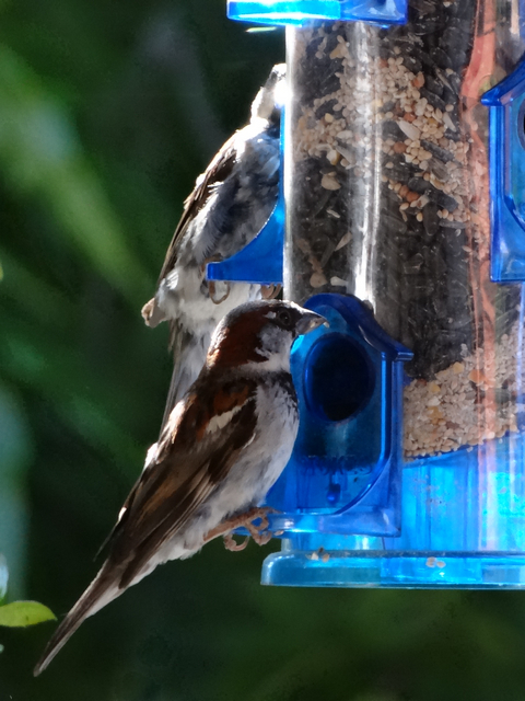 Passer domesticus (male house sparrows)