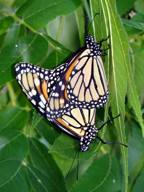 Danaus plexippus (monarch butterflies, mating)