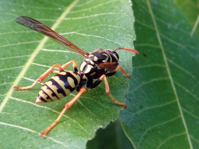 Polistes dominula (European paper wasp)