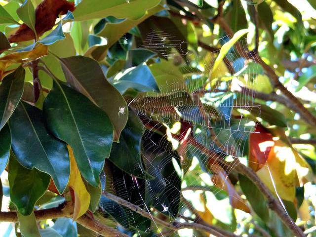 spider on Magnolia grandiflora (Southern magnolia)