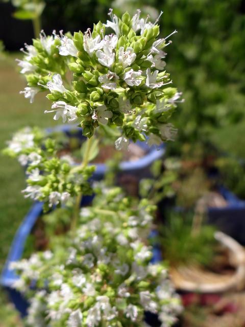 Origanum vulgare (Greek oregano)