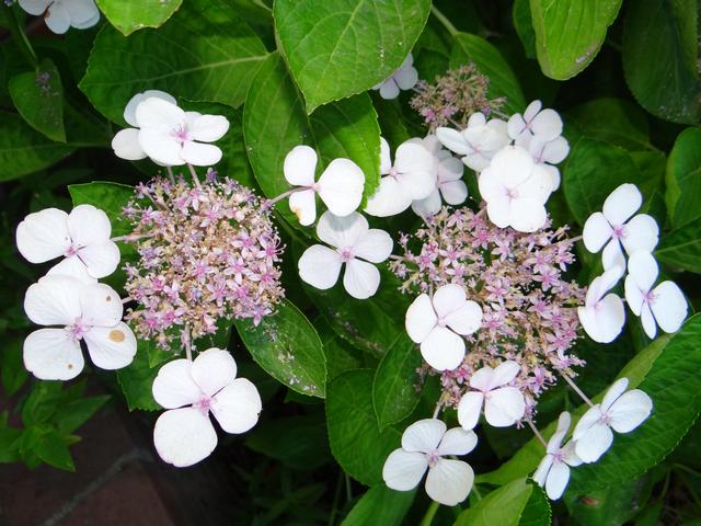Hydrangea macrophylla (bigleaf hydrangea)