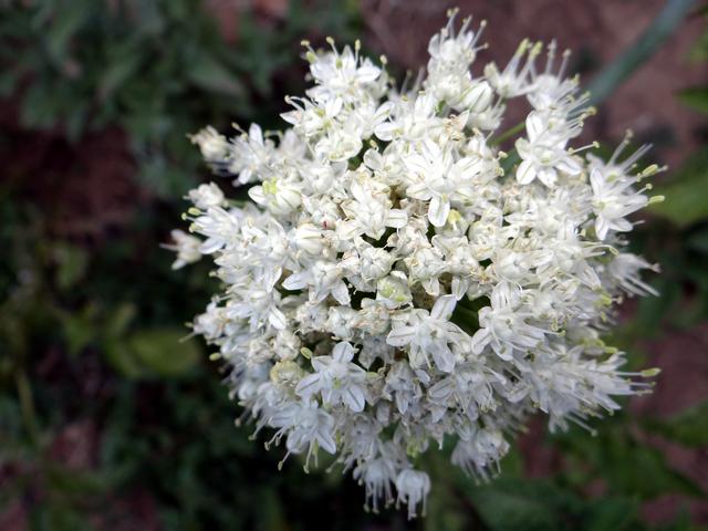 Allium porrum (leek)
