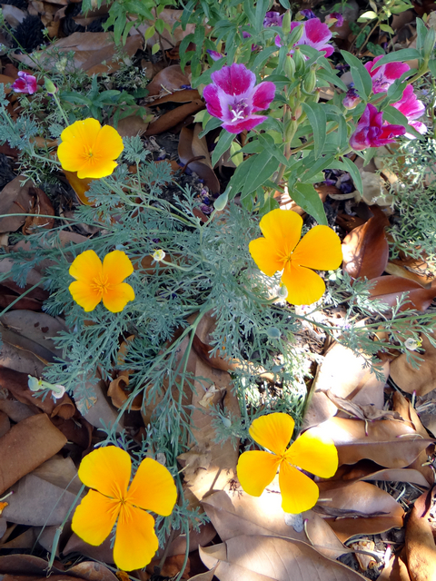 Eschscholzia californica (California poppies) with Clarkia amoena (farewell-to-spring)