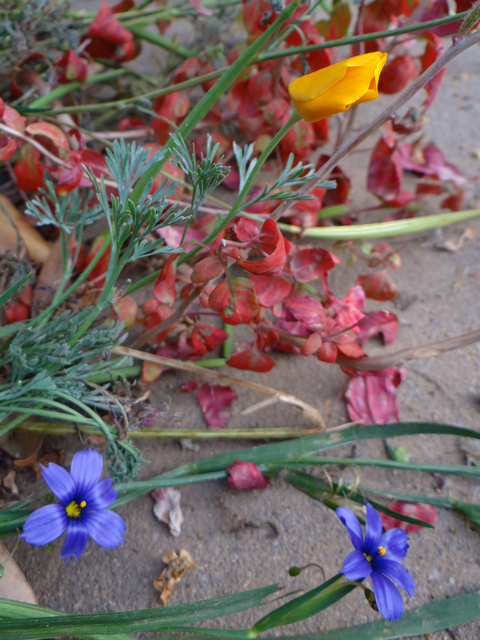 Sisyrinchium bellum 'North Coast' (blue-eyed grass), Eschscholzia californica (California poppies), and Clarkia amoena (farewell-to-spring)