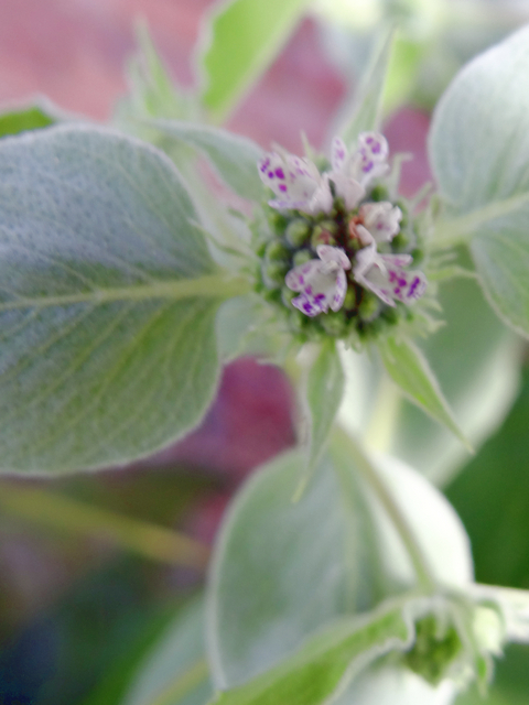 Pycnanthemum californicum (Sierra mint)