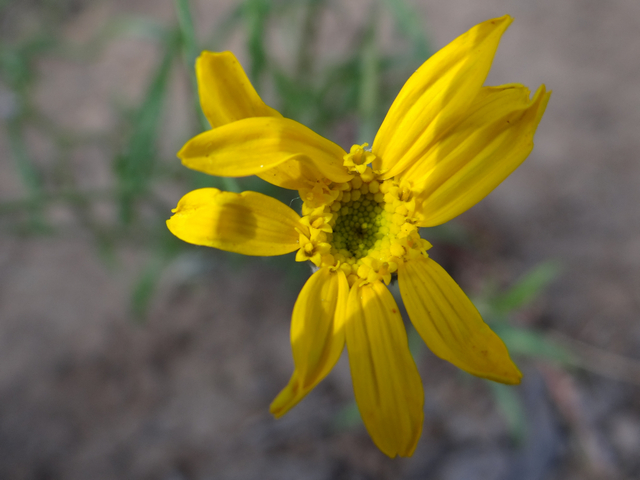 Eriophyllum lanatum (woolly sunflower)