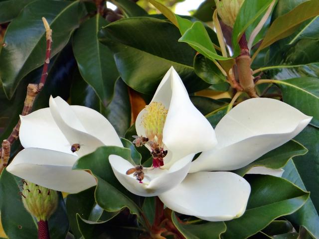 Magnolia grandiflora (Southern magnolia)