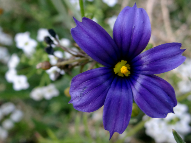 Sisyrinchium bellum 'North Coast' (blue-eyed grass)