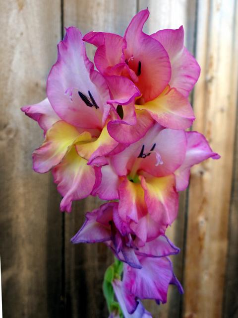 Gladiolus hybridus (hybrid sword lily)