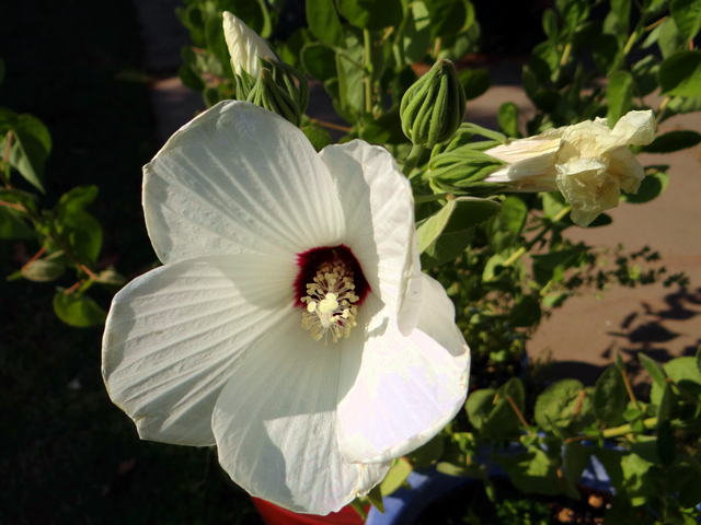 Hibiscus lasiocarpos (Sacramento rose mallow)