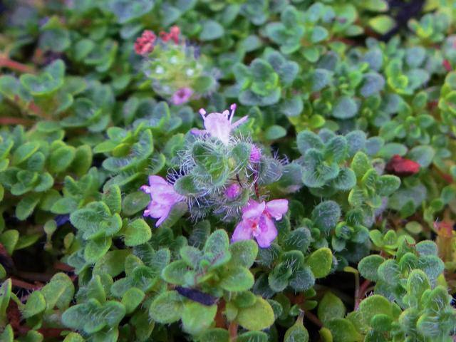 Thymus praecox 'Elfin' (creeping thyme)