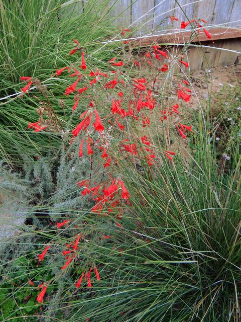 Epilobium canum x septentrionale 'Bowman's #1' (California fuchsia)