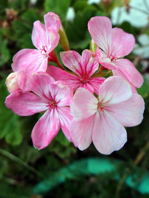 Pelargonium x hortorum (hybrid geranium)
