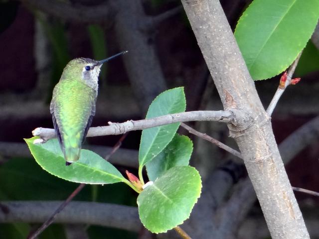 Calypte anna (Anna's hummingbird)