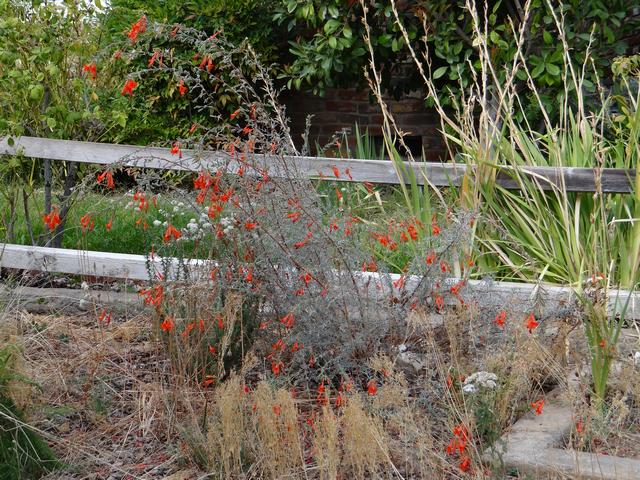 Epilobium canum 'Carman's Gray' (California fuchsia)