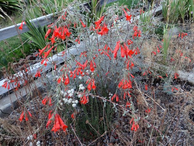 Epilobium canum 'Carman's Gray' (California fuchsia) with Eriogonum fasciculatum (Eastern Mojave buckwheat)