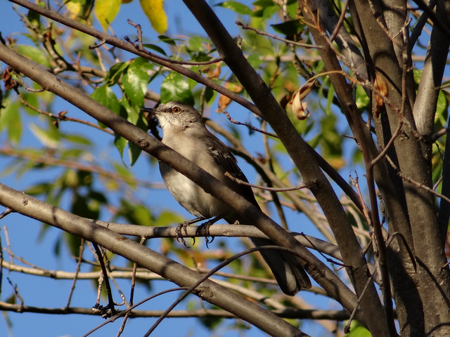 Mimus polyglottos (Northern mockingbird)