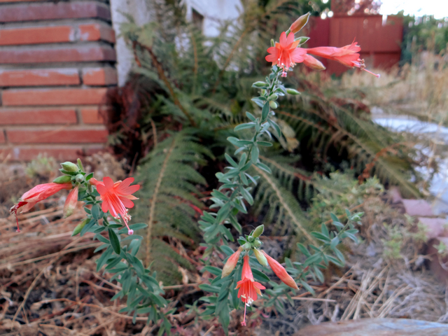 Epilobium canum 'Sierra Salmon' (California fuchsia)