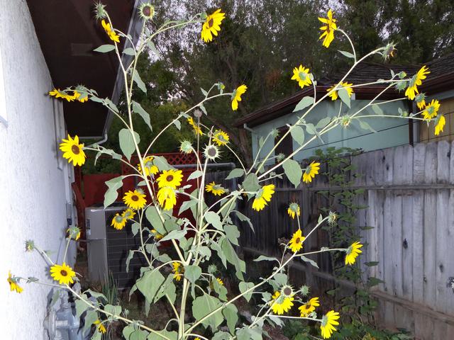 Helianthus argophyllus 'Japanese Silverleaf' (silverleaf sunflower)