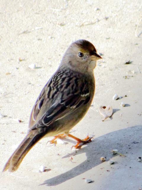 Zonotrichia atricapilla (golden-crowned sparrow) juvenile