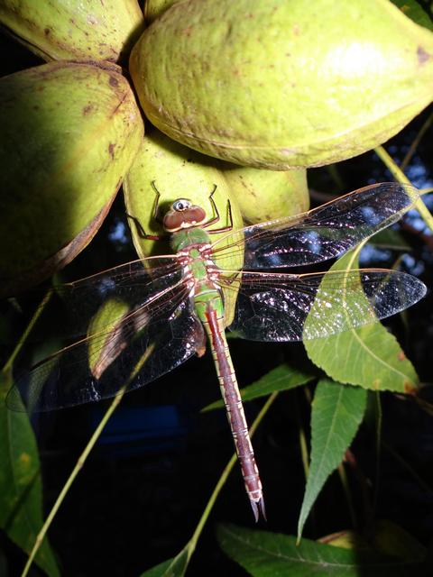 Anax junius (green darner dragonfly)