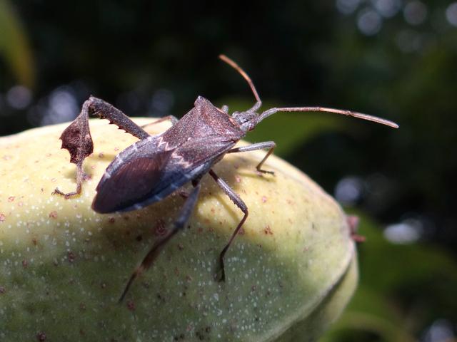 Leptoglossus zonatus (leaf-footed bug)