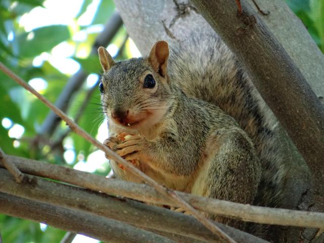 Sciurus carolinensis (Eastern gray squirrel) female