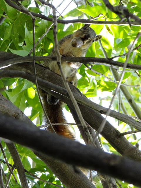 Sciurus carolinensis (Eastern gray squirrel) male
