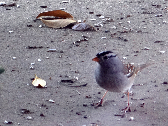 Zonotrichia leucophrys (white-crowned sparrow) adult