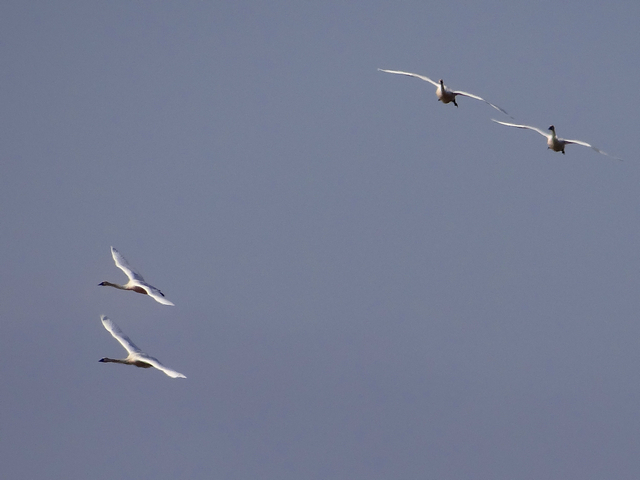 Cygnus columbianus (tundra swans)