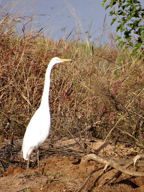 Ardea alba (great egret)
