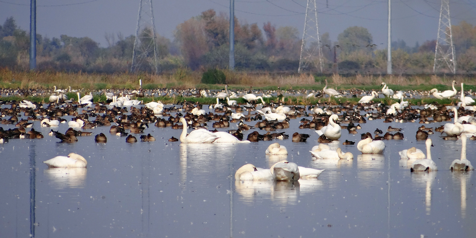Ellis Road: Cygnus columbianus (tundra swans), Anser albifrons (greater white-fronted geese), Anas acuta (Northern pintail)
