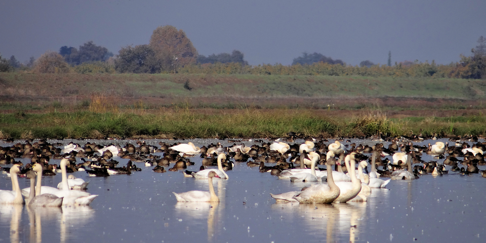 Ellis Road: Cygnus columbianus (tundra swans), Anser albifrons (greater white-fronted geese)