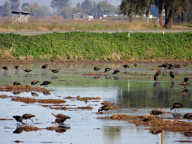 Mathews Lane: Plegadis chihi (white-faced ibis)