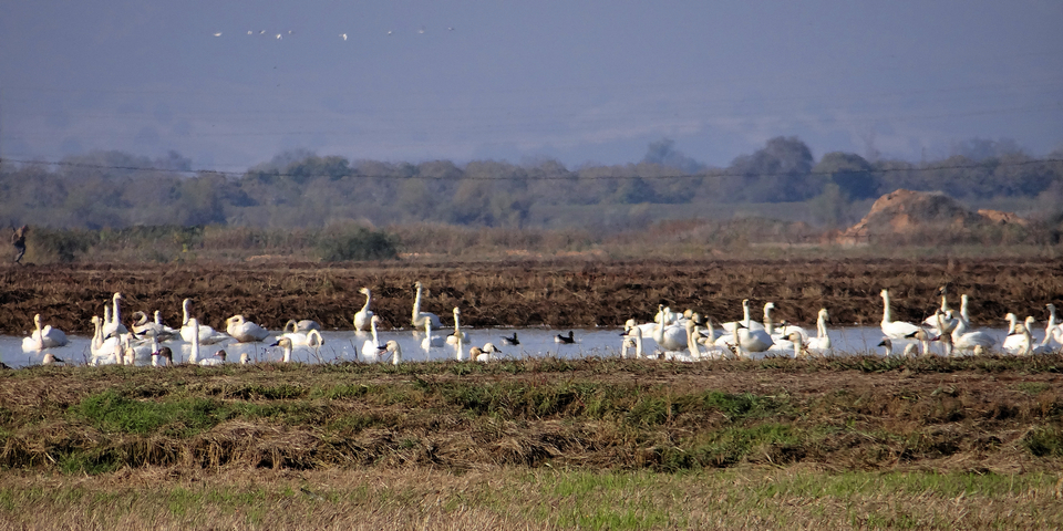 Kimball Lane: Cygnus columbianus (tundra swans) and farmer