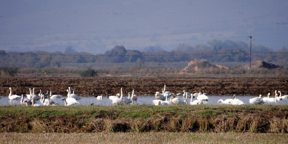 Kimball Lane: Cygnus columbianus (tundra swans)