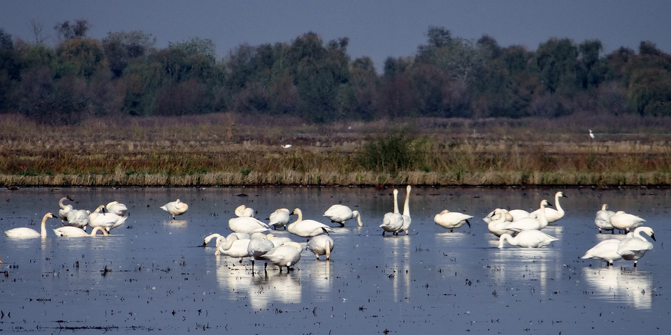 Mathews Lane: Cygnus columbianus (tundra swans) and Ardea alba (great egret)